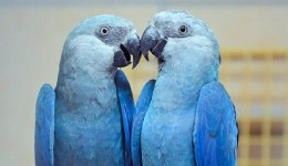 Após 20 anos de extinção, Brasil recebe 50 filhotinhos de araras azuis