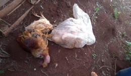 Homem é preso pela Guarda Municipal após matar e cortar galinhas e galos