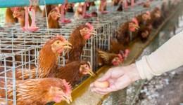 Nem as galinhas tem sossego, ladrão rouba granja